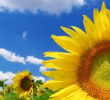 ws_Great_sunflower_1600x1200